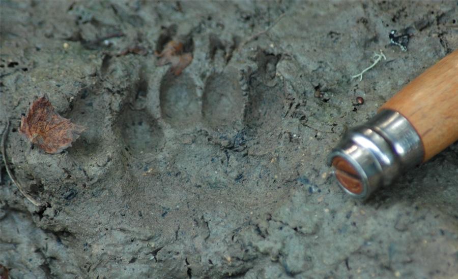 Recherche des traces d'animaux